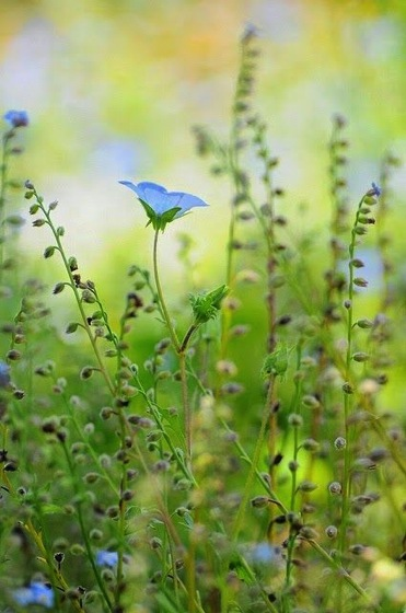 Interesting Plant: Blue Flax (Linum lewisii)