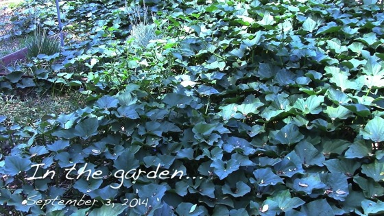 Video: In the garden...September 3, 2014: Sweet Potato Starts for Everyone!