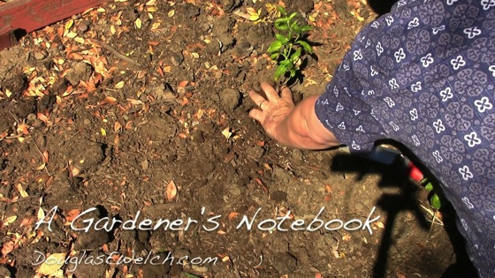 Video: In the garden...September 5, 2014: Basil back in the garden and containers