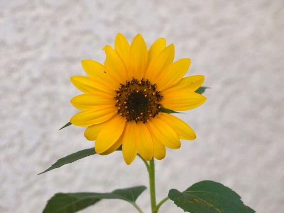 Flowering Now: Sunflower (Helianthus)