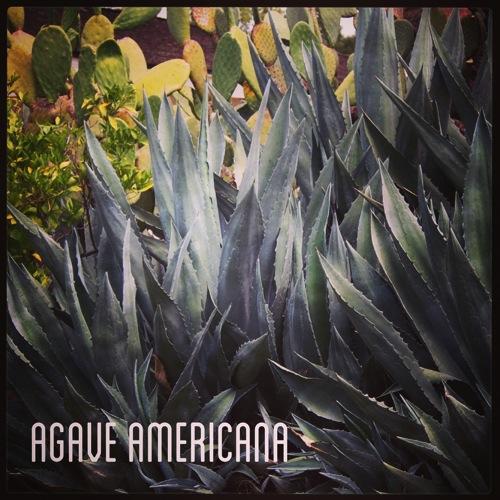 Garden Alphabet: Agave americana