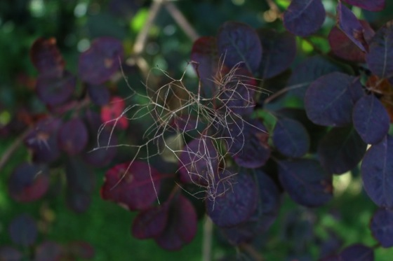 Field Guide: Smoke Bush by Kendra Wilsonvia via Gardenista