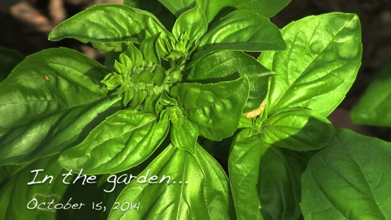 In the garden...Basil galore and more from the potting bench - October 15, 2014