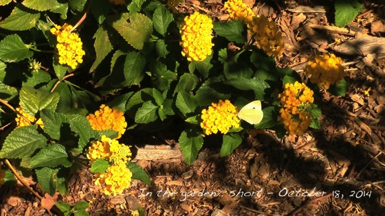 In the garden...Beauty in the garden - butterfly and hibiscus in bloom - October 18, 2014
