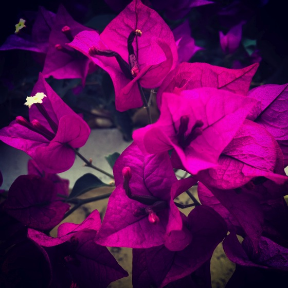 Photo: Bougainvillea in the neighborhood