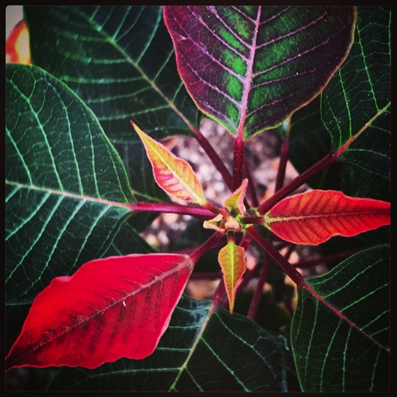 Photo: Poinsettia salvaged from 2013 taking on seasonal colors via #instagram