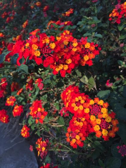 Flowering Now: Lantana