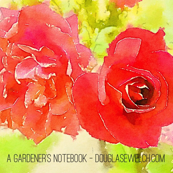 Photo: Roses in watercolor via #instagram and #waterlogue