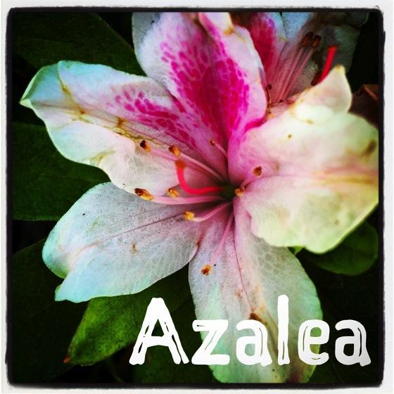 Azalea 2014 1