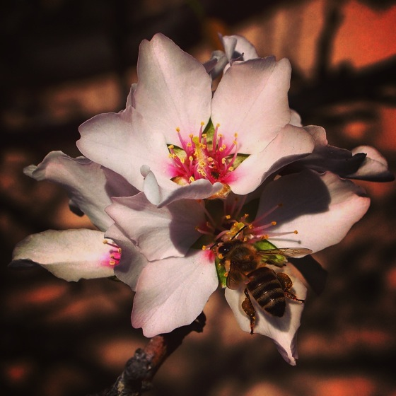 Photo: Apricot flower with bee via #instagram