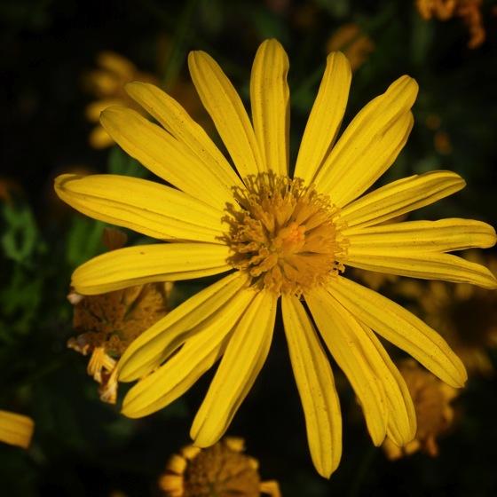 Flowering Now: Euryop