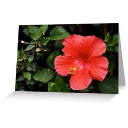 Hibiscus cards sq