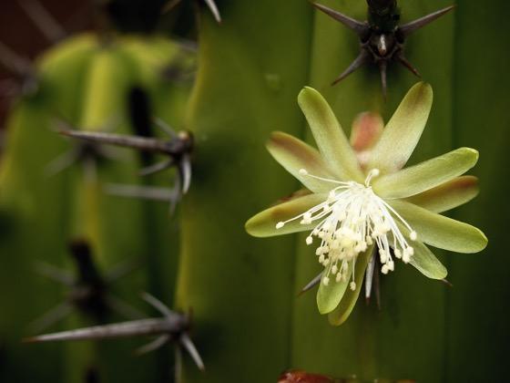 Photo: White Cactus Flower at The Gardens at Lake Merritt ...
