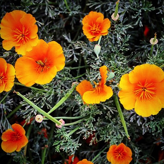 California poppy ig