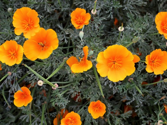 Photo: California Poppy (Eschscholzia californica) from A Gardener's Notebook (and products for you and your home!)