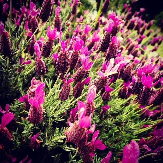 Lavender 2015 ig