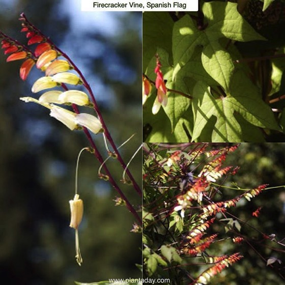 Interesting Plant: Firecracker vine (Ipomoea lobata)