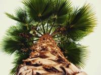 Palm Tree Vertical
