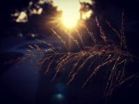 Sunset on Grass Seeds
