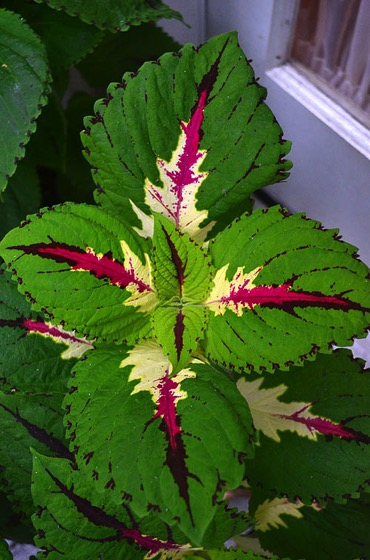 Interesting Plant: Kong Coleus (Solenostemon scutellarioides
