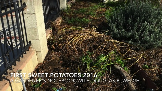 In the garden...First Sweet Potatoes 2016 from A Gardener's Notebook