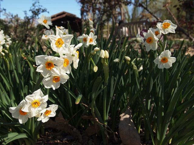 descanso-daffodil
