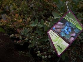 Monrovia blueberry