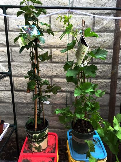Monrovia greenhouse