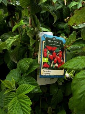 Monrovia raspberry