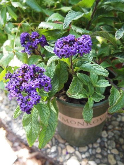 Iowa Heliotrope (Heliotropium arborescens 'Iowa')  - Plant Choice #4 for Embrace Your Space with Monrovia