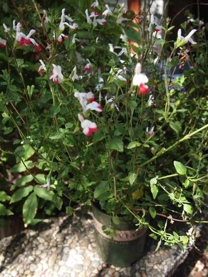 Hot Lips Sage (Salvia microphylla 'Hot Lips') - Plant Choice #2 for Embrace Your Space with Monrovia