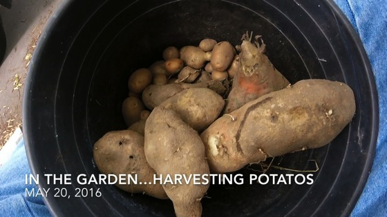 In The Garden...May 20, 2016: Harvesting Potatoes