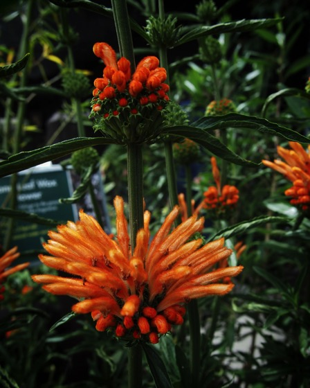 Interesting Plant: Leonotis leonurus