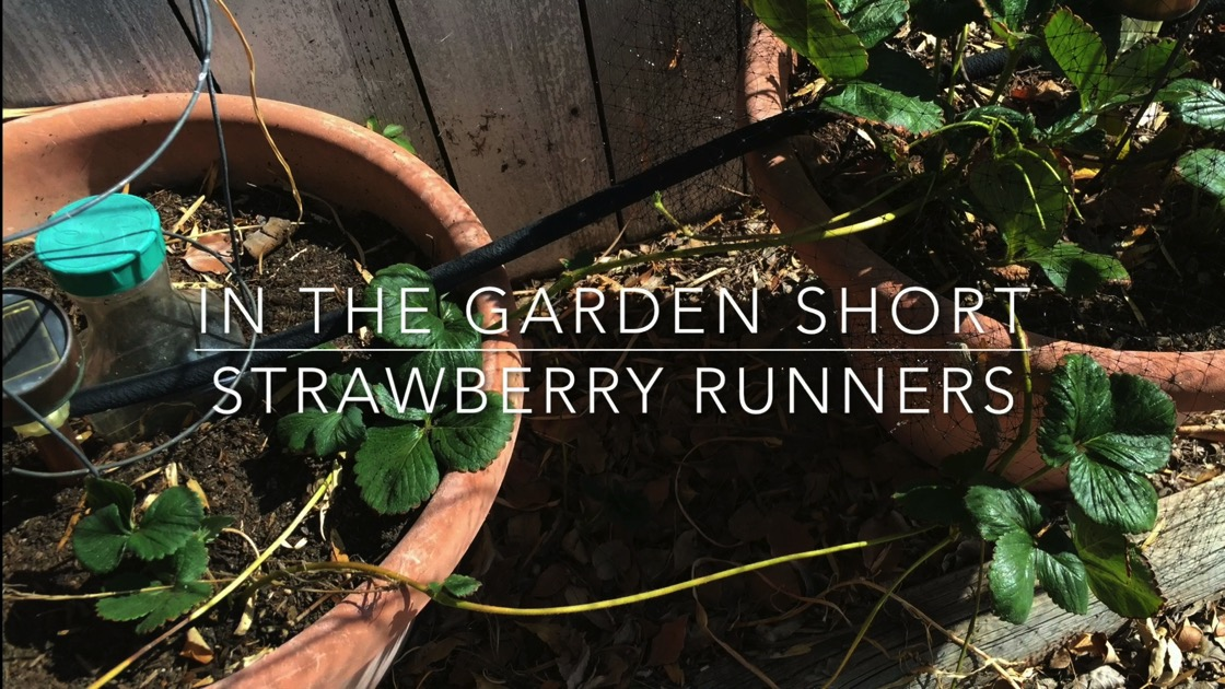 In The Garden...Short: Strawberry Runners from A Gardener's Notebook