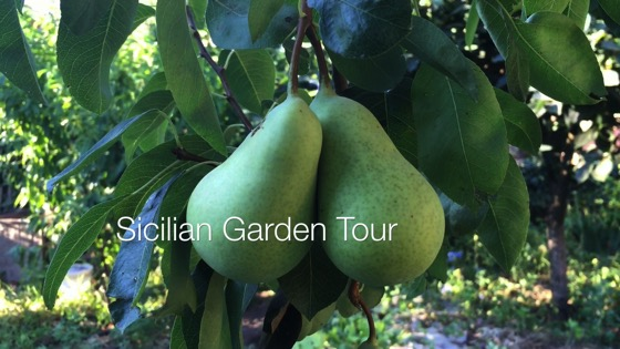 A Minute in the (Sicilian) Garden 42 - Garden Tour - Pears, Persimons and Squash Blossoms