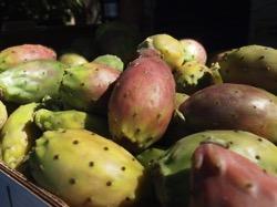 Opuntia sicily 4