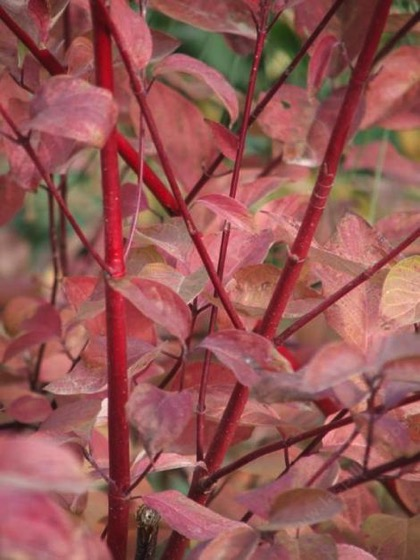 Interesting Plant: Red Stem Dogwood (Cornus stolonifera/Cornus sericea)