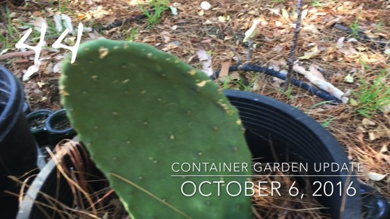 Container Garden Update 44: Opuntia, dietes and basil are growing