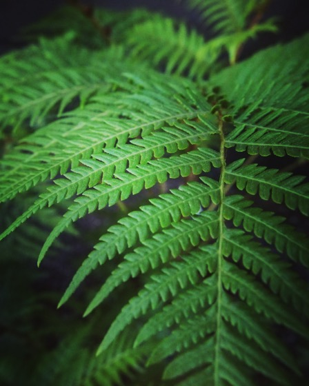 Fern #garden #plants #fern #green #nature #outdoors