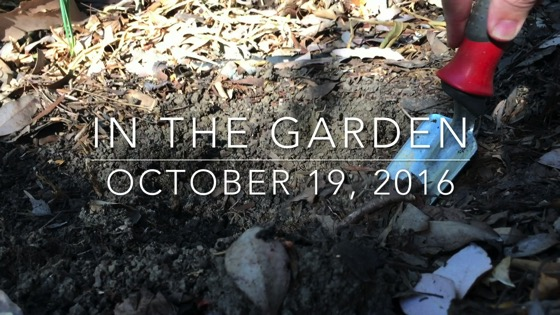 In the garden...October 19, 2016: Planting Bulbs from A Gardener's Notebook [Video] (2:41)