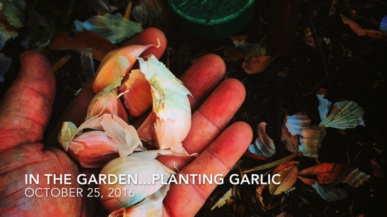 In the garden...October 25, 2016: Planting Garlic from A Gardener's Notebook