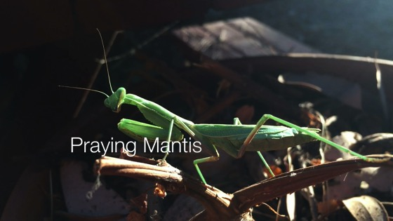 Praying Mantis - A Minute in the Garden 47 from A Gardener's Notebook [Video] (1:00)