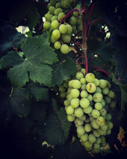 Summer Grapes in Sicily #food #fruit #garden #agriculture #sicily #italy #travel #grapes
