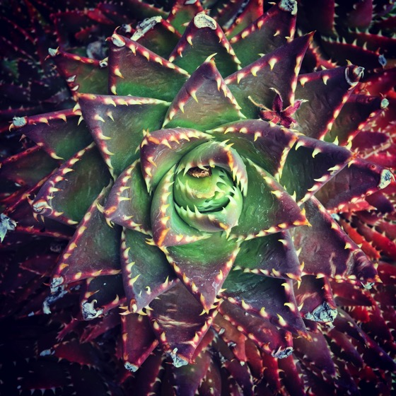 Succulent closeup #garden #succulent #plant #nature #grow