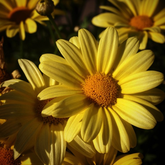 Yellow Daisy Closeup #flowers #garden #yellow #daisy #nature #closeup #plants