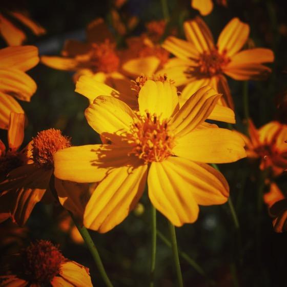 Golden Flower #garden #flowers #nature #gold #outdoors #grow