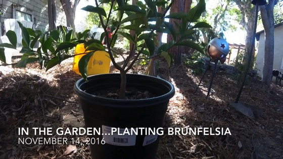 In The Garden...November 14, 2016: Planting Brunfelsia