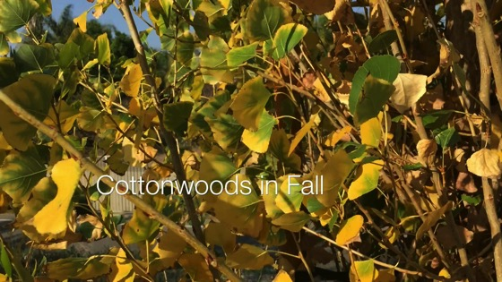 Cottonwoods in Fall - A Minute in the Garden 49 from A Gardener's Notebook