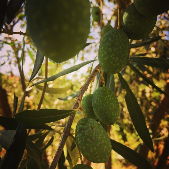 Olives in the Sicilian Garden #olives #fruit #garden #plants #trees #sicly #italy #travel