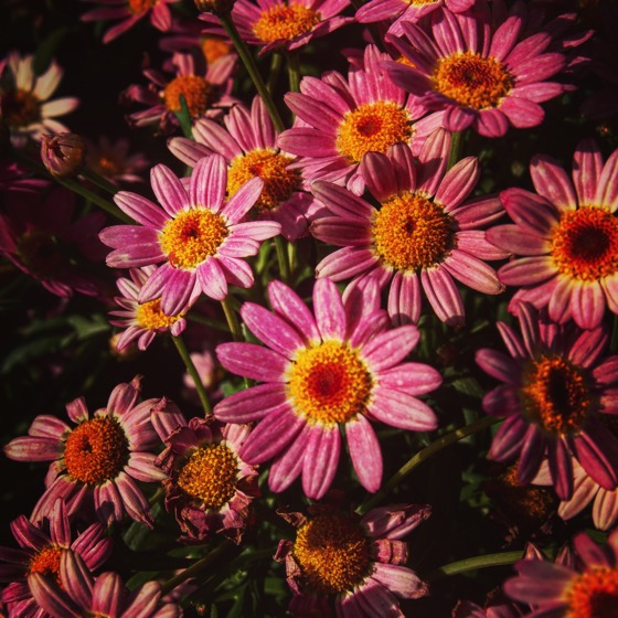 Purple-pink Daisies #flowers #plants #garden #nature #outdoors #gardenersnotebook